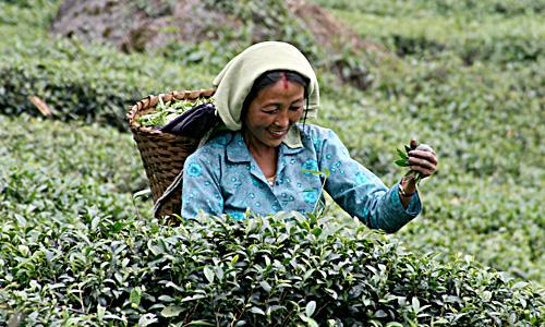 teapluckerDarjeelingteagarden