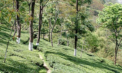 teagardenRisheehatDarjeeling