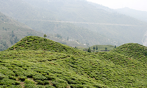teabushesDarjeeling