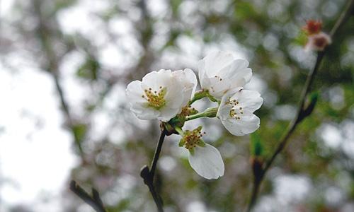 KirschbluteSakuraKirishima
