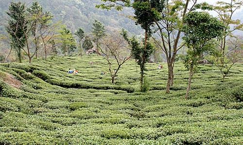 TeeplantageDarjeeling